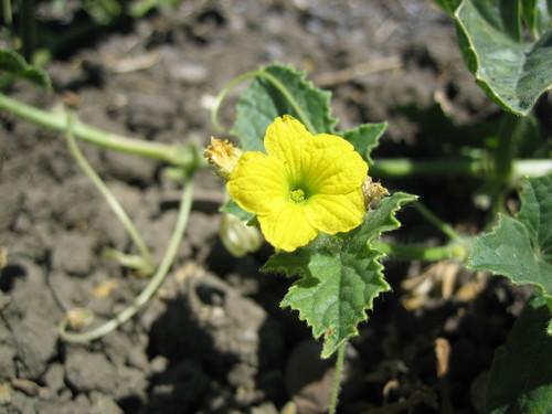 Flor de Melon