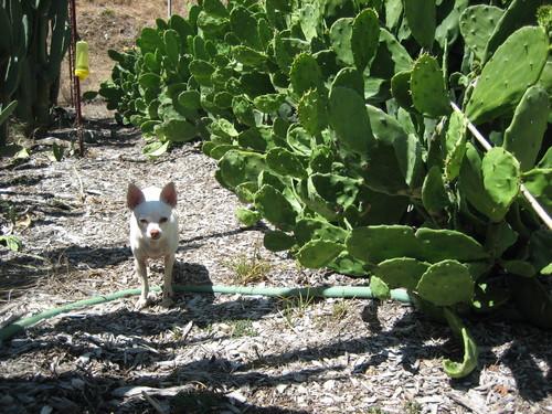 Whitey the Killer Chihuahua